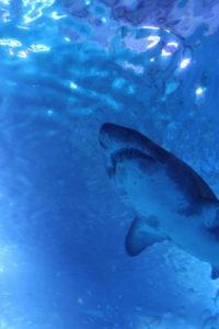 深海鮫イメージ